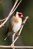 chardoneret élégant (rachel.peillet) Tags: chardonneret bird oiseaux europeangoldfinch