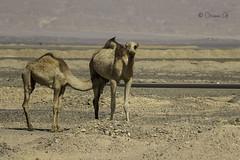 Camel- Suckling (Osama Ali Photography) Tags: animal animals animales camels camel camello desert desierto sand sahara salvaje arena wildlife wild egypt egipto dry seco sunlight جمل جمال صحراء مصر البرية حيوانات