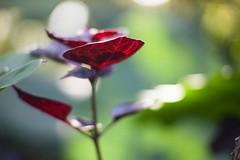 Home impression---Shitou,Nantou,Taiwan (Eddy Tsai) Tags: 景深 背景虛化 明亮 花 戶外 植物 viola 微距 花朵 花園 flower garden taiwan bokeh vivid color colours macro 花蕊 鮮豔 雌蕊 開花 campanula 艷麗