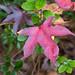 Leaf Rainbow - Sweet Gum