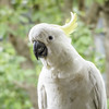 "It's so nice to see you! (""Pam's Pet Pictures"") Tags: bird parrot sulphurcrestedcockatoo wildbird cockatoo balcony sydney australia"