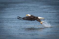 Eagle Fishing (Vic Zigmont) Tags: eagles birds eagle baldeagle birdwithprey eaglewithfish birdinflight eaglefishing