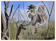 Great Horned Owl (gauchocat) Tags: arizonasonoradesertmuseum tucsonarizona