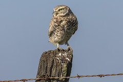 Burrowing Owl (pointnshoot) Tags: canonef100400mmf4556lisiiusm burrowingowl