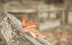 Diminished Autumn (Mandy Willard) Tags: 366 1812 singleleaf fence
