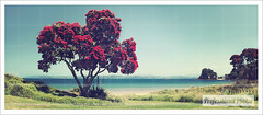 Vintage Pohutukawa Tree on Coast (www.professionalphotos.co.nz) Tags: pohutukawabeach pohutukawa beach sea coast summer vintage escape holiday relax newzealand great beautiful sand bloom flower flowers red green blue sumer holliday newzeland
