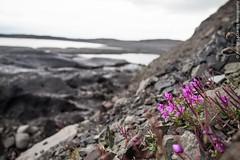 Flowers & Ice (Andrea_Lazzarato) Tags: iceland islanda travel aroundtheworld glacier skaftafell skaftafellnationalpark ice cold freddo ghiacciaio parconazionale