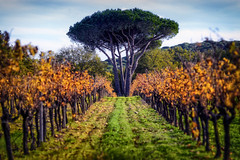 Fondugues Pradugues I (::YS::) Tags: fondugues pradugues vineyard yann savalle domaine ramatuelle winery vin viticole saint tropez france vignoble provence sainttropez bio farming pampelonne beach biodynamic organic wine noir et blanc monochrome bordure photo animal extérieur licou
