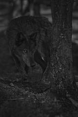 Wolf (Cruzin Canines Photography) Tags: animal animals canon canine canoneos5dmarkiii ef100400mmf4556lisusm wolf blackwolf colorado coloradowolfandwildlifecenter wildlife wild wildanimal nature naturallight naturepreserve blackandwhite monochrome outdoors outside