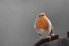 Visiteur du jour (Doriane Boilly) Tags: jardin calme le matin garden rouge gorge birds favoris du