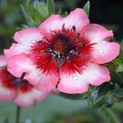 Лапчатка (DmitriSayakin) Tags: macro макро цветок цветы красный розовый red rose лапчатка potentilla rosaceae растение blossom