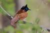 Paradise Flycatcher (fascinationwildlife) Tags: animal bird paradise flycatcher vogel wild wildlife nature natur national park india asia ranthambhore summer tree forest branch fliegenschnäpper
