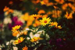 жовта мить (zool18) Tags: flickr flower flora foto green garden ligth nature canon color macro mark2 autumn yellow bokeh outdoor orange botanic home good picture plants amazing beauty