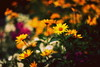 жовта мить (zool18) Tags: flickr flower flora foto green garden ligth nature canon color macro mark2 autumn yellow bokeh outdoor orange botanic home good picture plants amazing beauty