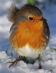 robin  (3) (Simon Dell Photography) Tags: simon dell photography sheffield castleton derbyshire snow 2017 friday 13th january peak district photos old new landscapes wildlife nature animals birds wild scenes buildings village awsome sunlight first winter robin red breast bird cute close up macro detail classic snowy image ground