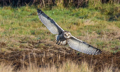 Short Eared Owl (cogs2011) Tags: owl short eared kill grass wingss spread eyes yellow