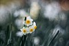 _DSC1011 (kymarto) Tags: bokeh bokehlicious depthoffield garden flower flowers narcissus dallmeyer supersix nature naturephotography sony sonynex7