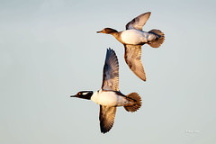 Hooded Mergansers (Mike Veltri) Tags: ducks avian birds flight mergansers hoodies ontario canada