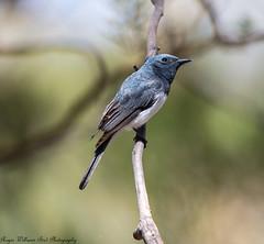 Leaden Flycatcher(Myiagra rubecula) (Doublebar) Tags: abirdsaustralia a australianbirds flycatcher365leaden