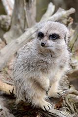 Meerkat 1 (Karley Foy Photography) Tags: park colour animal mammal photography zoo meerkat wildlife explore flickrexplore
