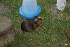 13. Guinea pig / морская свинка