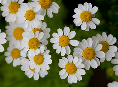 Feverfew (Mukumbura) Tags: flowers summer england white flower green nature leaves yellow daisies garden petals bush pretty somerset few daisy citrus blooms mass friday chrysanthemum herb phew medicinal scent gettyimages feverfew chrysanthemumparthenium summertimeuk