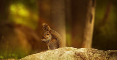 squirrel (irina_escoffery) Tags: