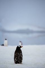 One (Just Karen) Tags: penguin gentoo antarctica quark cuvervilleisland seaadventurer