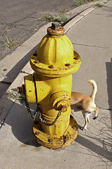 My neighborhood with iPhone (cbrozek21) Tags: hydrant peeing yellowhydrant peeingdog streethydrant