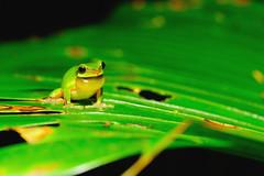 DSC_2288_011 (Wen-Yeu Wang) Tags: nature wildlife frog amphibians