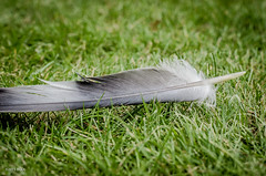 The Aftermath!! (BGDL) Tags: grass garden lawn feather week1 escaped birdfeather niftyfifty 7daysofshooting nikond7000 bgdl afsnikkor50mm118g messymoments lightroomcc contrastthursday