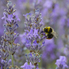 Beeliscious (jump for joy2010) Tags: uk blue england bees lavender july insects somerset bumblebee lilac mauve worker axbridge 2015 redtailedbumblebee lavenderco httpwwwlavenderandcocouk