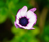 """""""middle"""" ground (fromkmr) Tags: sonya77ii africandaisy gardenflower winterblooms"""