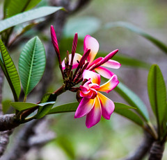 frangipani (lindale1967) Tags: flowers frangipani summer garden trees tree flower pink