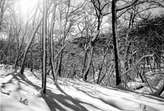 Forest in Iwamizawa park (threepinner) Tags: iwamizawapark iwamizawa forest tonebetsu hokkaidou hokkaido northernjapan japan daytime fine winter snow pentax mzm rikenon 28mm f28 kodak microfilm imagelink hq selfdeveloped 利根別原生林 岩見沢公園 岩見沢 北海道 北日本 日本 woods mountainsnaps