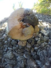 Hermit the crab and his friends eating coconuts!