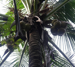 Coconuts (Badly Drawn Dad) Tags: geo:lat=597517585 geo:lon=11600440800 geotagged malaysia manukanisland mys pulaumanukan sabah