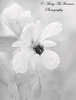 Purity (Mary McIlvenna Photography) Tags: flora logan loganbotanics sparmanniaafricana floralart flower monochrome doublefantasy