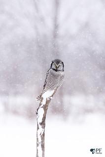 ''Clin d'oeil!'' Chouette épervière/ Northerm hawk owl