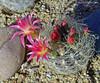 Eriosyce senilis 'Multicolor' (l.e.violett) Tags: cactus flowers cultivated eriosyce senilis multicolor arizona pse