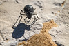 Darkling Beetle in White Desert, Egypt (pas le matin) Tags: scarabée beetle desert insect whitedesert travel voyage world sand stone sable sahara egypt egypte africa afrique macro insecte shadow canon 7d canon7d eos7d canoneos7d darkling darklingbeetle ténébrion