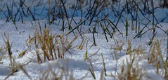 she wore sparkles and glitter (Hayseed52) Tags: glitter sparkle grass snow shadows mothernature