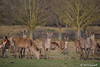 We Can See You (crezzy1976) Tags: nikon d3300 crezzy1976 photographybyneilcresswell outdoors wildlife nature animal reddeer deer cheshire tattonpark uk