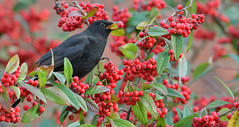 Blackbird (KHR Images) Tags: blackbird turdusmerula turdidae chatsandthrushes oakham rutland feeding berries winter wild bird nature wildlife nikon d500 kevinrobson khrimages