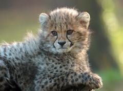 cheetah Burgerszoo JN6A8700 (j.a.kok) Tags: cheetah jachtluipaard acinonyxjubatus acinonyxjubates burgerszoo burgerzoo cat kat predator africa afrika mammal