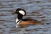 Hooded Merganser © (Rodolfo Quinio) Tags: hoodedmerganser nikond500 tamron150600mm centennialpark ellicottcity howardcounty duck waterbird nature wildlife