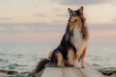01/52 tender Leia (shila009) Tags: 52weeksfordogs leia roughcollie dog perro soft cute dof colours cielo sky dawn sunset sea beautiful happy light pink