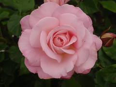 Pink Rose (benhosg) Tags: newzealand southisland monavale flower rose