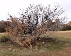 012 A Dying Tree (saschmitz_earthlink_net) Tags: 2017 california orienteering vasquezrocks aguadulce losangelescounty laoc losangelesorienteeringclub
