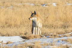 A very watchful and wary Coyote